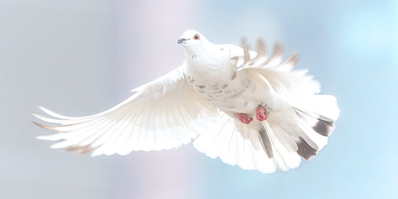 beautiful dove flying